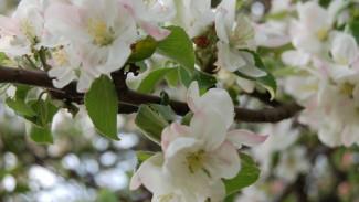 «Не сад, а дровяной склад». В Воронеже яблоневые сады вырубят под школу и спорткомплекс