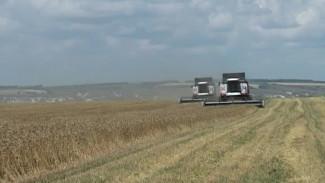 Из-за дождей хлеб в Воронежской области убирают медленно