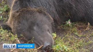 Воронежские ветврачи рассказали о результатах проб на бешенство напавшего на людей медведя