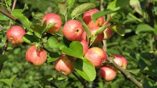 Воронежский фермер пойдёт под суд за вывод 5 млн из бюджета на яблоневые сады