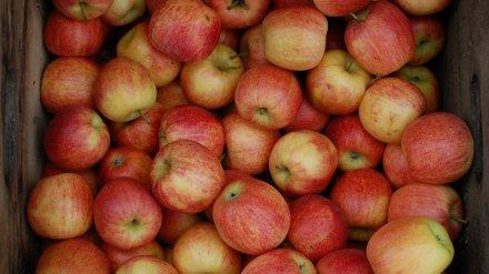 Россельхознадзор уничтожил под Воронежем почти 1,5 тонны санкционных яблок из Польши