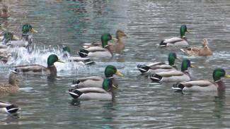Сотни диких уток остановились на зимовку в Центральном парке Воронежа