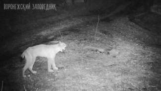 Зовущий партнёршу самец рыси попал в фотоловушку в воронежском заповеднике