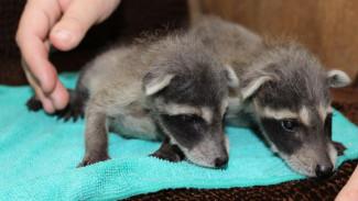 Воронежцы выбрали клички для малышей-енотов из зоопарка