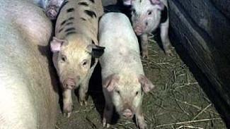 В Нижнедевицком районе ликвидируют 18 тысяч свиней, заражённых АЧС