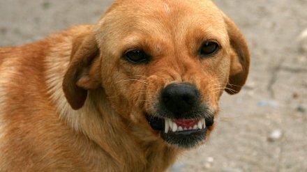 Воронежцы сообщили об агрессивной стае собак, терроризирующих школу