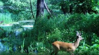 Лесная камера запечатлела диких зверей на водопое у реки в Воронежской области