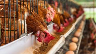 Крупнейшая птицефабрика в Воронежской области обеспечит продукцией несколько соседних регионов