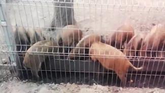 Сотрудники Воронежского зоопарка поделились видео с малышами-кабанятами на обеде