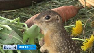 Воронежские биологи передали редких крапчатых сусликов Липецкому зоопарку