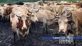 В Воронежской области появились еще 3 племенных репродуктора