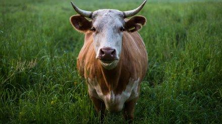 Около воронежского Дивногорья планируют построить молочные фермы