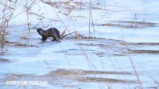 В воронежском заповеднике сняли на видео скользящих по льду выдр