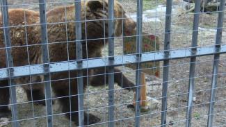 В Воронежском зоопарке медведи окончательно выбрались из берлог