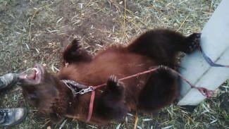«Всем прятаться!» Очевидцы рассказали подробности побега медведицы из шапито в Воронежской области