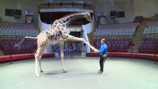 Дрессировщик рассказал, как жираф Багир готовится к шоу в Воронежском цирке