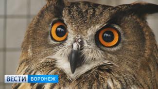 Филин Федя деловито обживается в Воронежском зоопарке