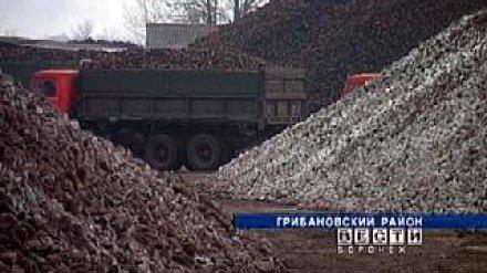 В Воронежской области убран первый миллион тонн сахарной свёклы
