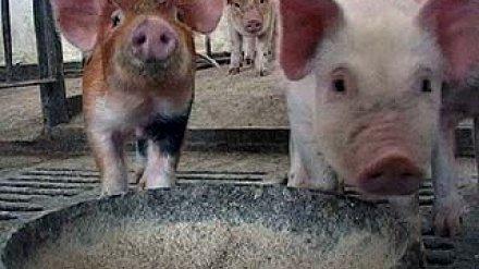 В Подгоренском районе забита свинья, болевшая сибирской язвой