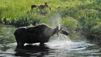 На кадры фотоловушки Воронежского заповедника попал впервые пришедший на водопой лосёнок