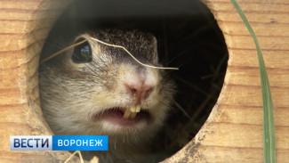 Воронежские суслики обживают новый дом в Липецком зоопарке