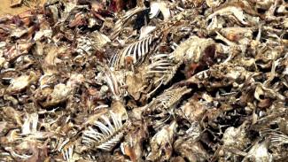 Найденный в воронежском селе гигантский скотомогильник ликвидировали