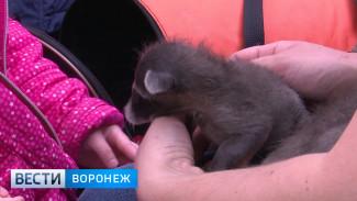 Воронежский зоопарк показал крошек-енотов своим посетителям