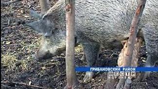 Указом Минприроды кабаны исключены из списка лимитируемых видов охотничьих ресурсов