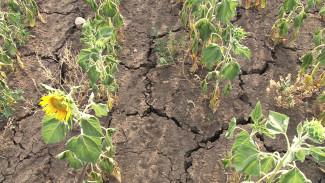 Воронежский район за два месяца без дождей накрыла сильнейшая засуха