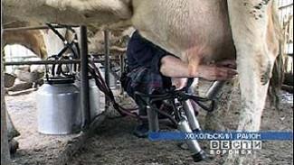 Хохольские коровы самые перспективные