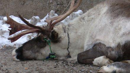 Смерть северного оленя в Воронеже растрогала депутатов Госдумы