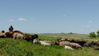 Людей лечат, скот уничтожают. В Воронежской области зафиксировали вспышку опасной инфекции