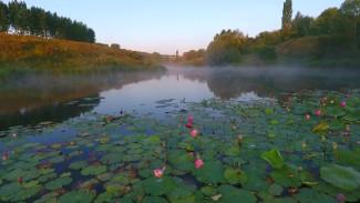 В Воронежской области начали спускать уникальный пруд с лотосами