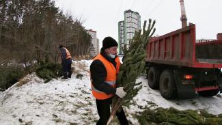 Вторая жизнь ёлок. Как выброшенные новогодние деревья помогут благоустроить Воронеж