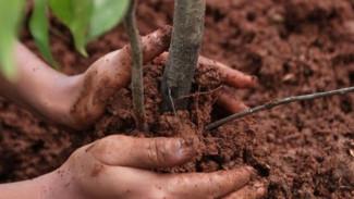 Мэрия Воронежа купит больше тысячи саженцев для озеленения города