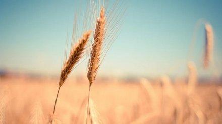 ГК «Продимекс» рассчитывает получить с воронежских полей рекордный урожай озимой пшеницы