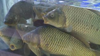 Снижают цены и разводят экзотов. Как воронежские рыбхозы борются за покупателей живого товара