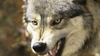 В Воронежской области открывается любительская охота на волков