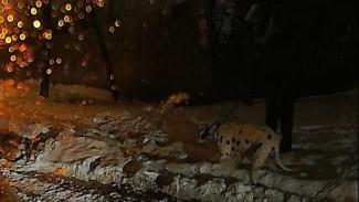 Испугавшаяся собаки женщина упала под колёса машин в Воронеже: появилось видео