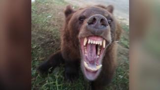 В Воронежской области сбежавшего из цирка-шапито медведя поймали дрессировщики