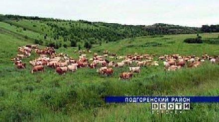 Фермер Вячеслав Грудинин вынужден пустить под нож стадо коров