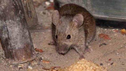 Борьба с мышами в Воронежской области подвела санврача под уголовное дело