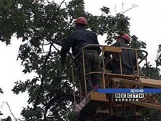 1200 аварийных деревьев насчитывается в Воронеже