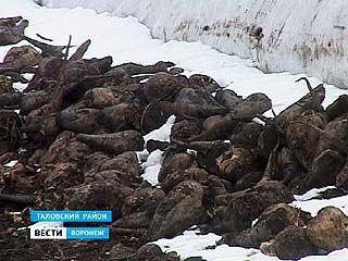 180 тысяч тонн сахарной свёклы остаются на полях Таловского района