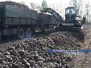 2,5 миллиона тонн сахарной свёклы убрано в Воронежской области
