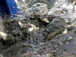 2,5 тонны толстолобика и белого амура выпущены в водохранилище