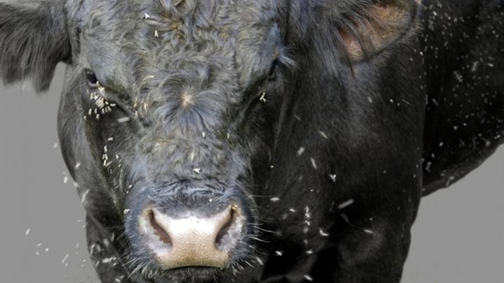 Ветеринары опровергли информацию о гибели коров от нашествия гнуса под Воронежем