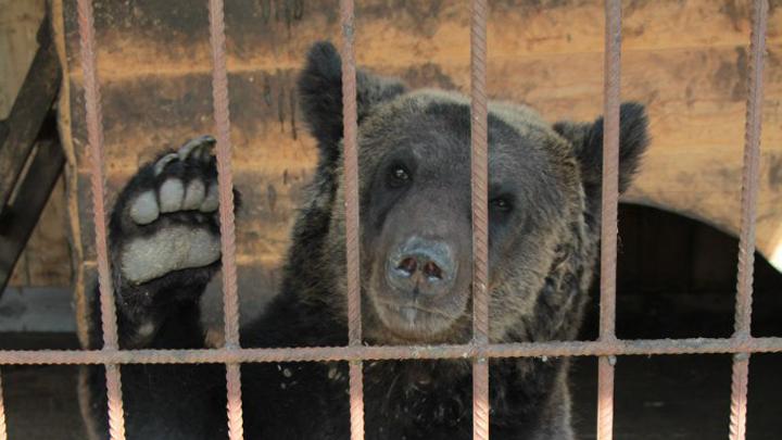 Медведь в Семилуках напал на хозяина зоосада, а соседу нанёс смертельные травмы