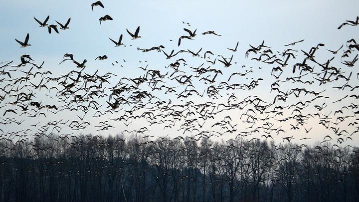 Путешествие на зимовку. Куда улетают воронежские птицы и как находят дорогу обратно
