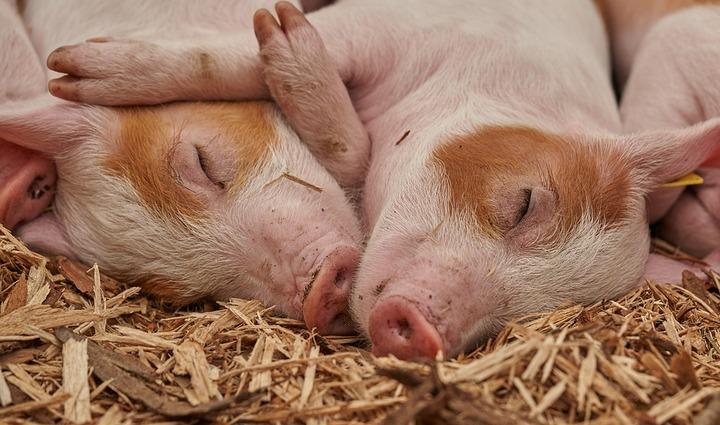 Воронежская область вошла в тройку лидеров по производству свинины